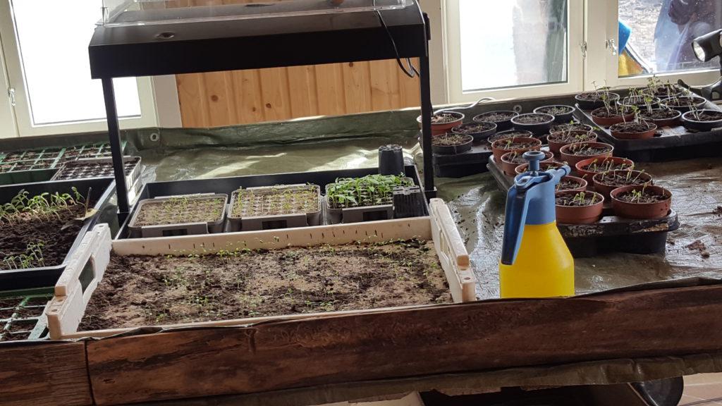 Spirende grønnsaker fra Evje gård
